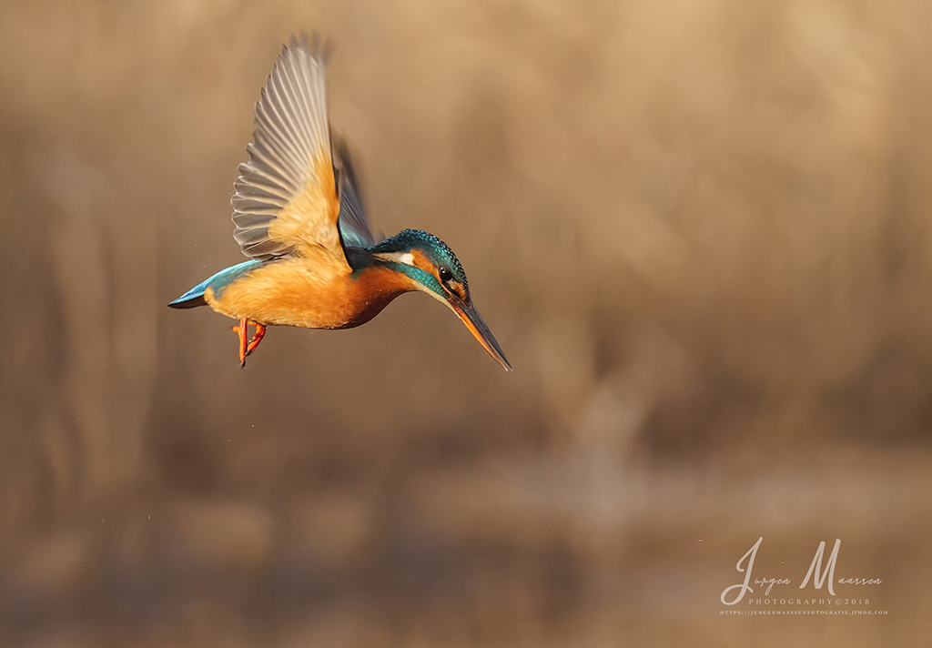 IJsvogel wijfje in vlucht - Common Kingfisher female in flight.