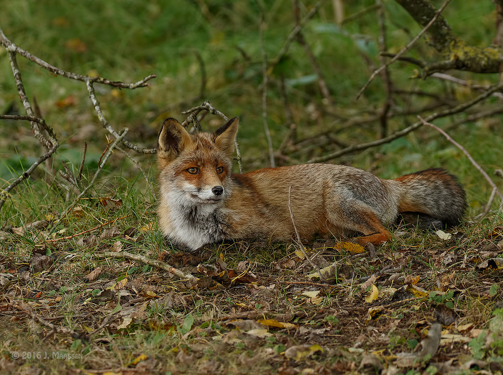 Vos in relax modus, 1e dag - Red fox in chilling mode, 1th day.