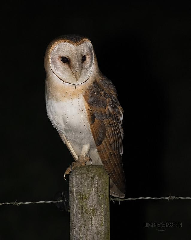 Kerkuil - Barn Owl.