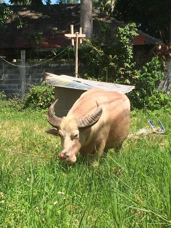 Eh booooo - Hat was von einem Nilpferd, Schwein und einem Ochsen....Scho, oder? ;-)