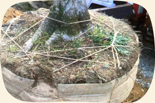 移植のために掘り出されたモミジの木【門西造園|浜松市】