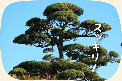 松の木の剪定・刈込み・お手入れ|浜松・湖西・磐田・豊橋