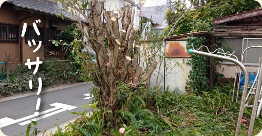 2.伐採|キンモクセイ(金木犀)の伐採・撤去ドキュメント【門西造園|浜松市】