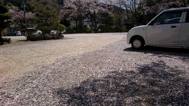 駐車場の地面に桜の花びら