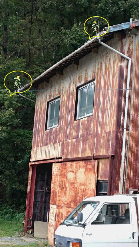 トタン屋根の左右に一本ずつひまわりが咲いている画像