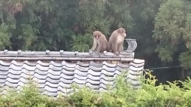 瓦屋根の上に二匹の猿