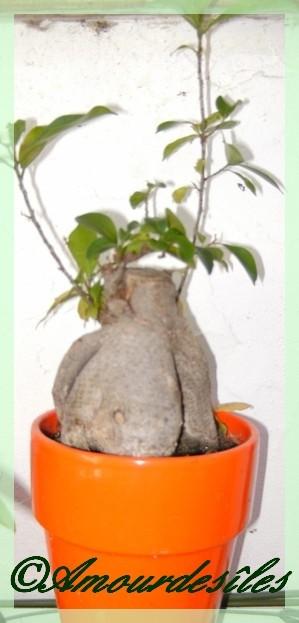 Un autre GINSENG bonsai...
