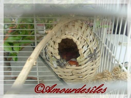 Bébé dans le nid des Mandarins...