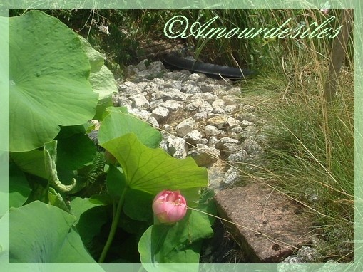 """Très beau """"Bouton de Fleur de Lotus""""..."""