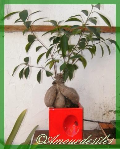 Mon GINSENG bonsai...