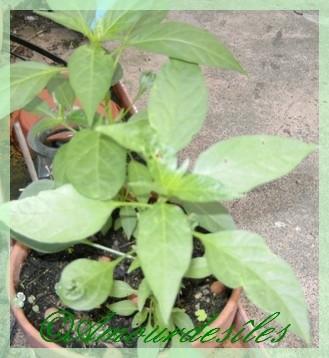 Petits plants de PIMENT MARTIN repiqués il y a une quinzaine de jours...