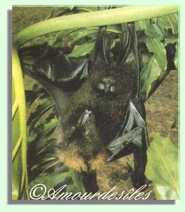 Roussette endémique à la Nouvelle-Calédonie