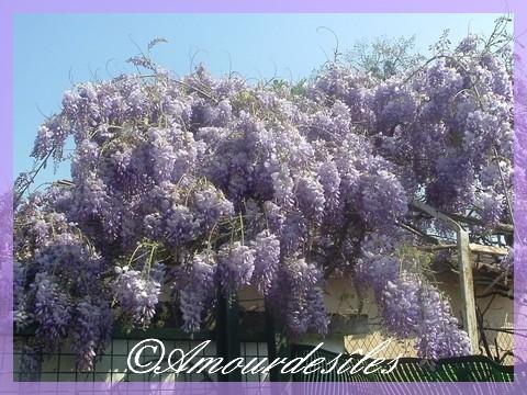 Magnifique Glycine du printemps 2009...