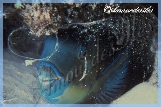 Un beau poisson perroquet, sa chair est très fine et goûteuse !
