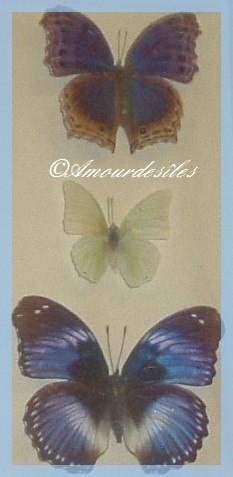 Encore les Beaux Papillons!
