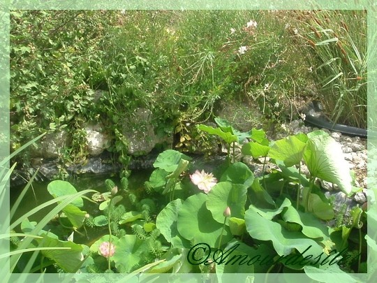 Chez ma Soeur: Magnifique bassin avec ses fleurs de lotus...