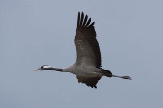 Fliegender Kranich (Foto: Klemens Karkow)