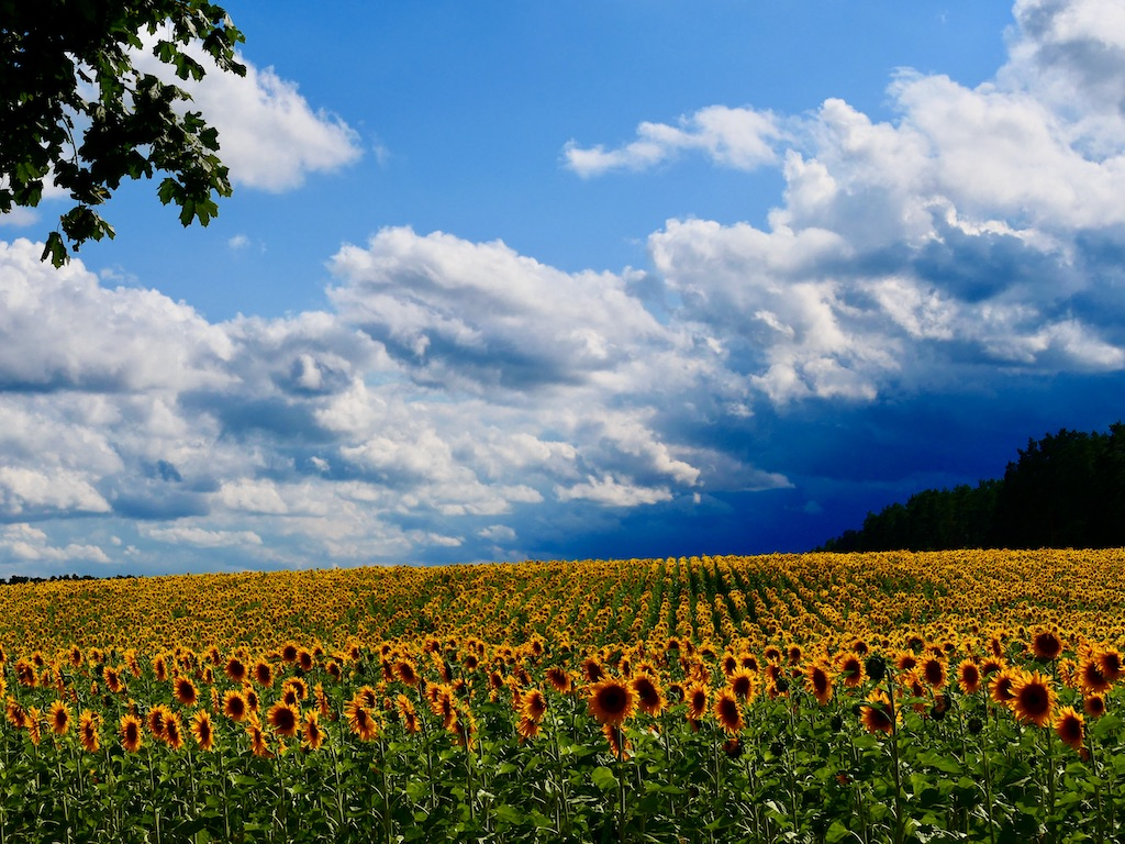 Sonnenblumenfeld 2020