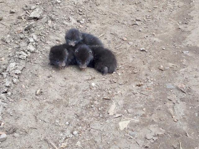 Fuchswelpen, Tierbaby, Fuchsbaby, schwarzes Fell, Urlaub Mecklenburg