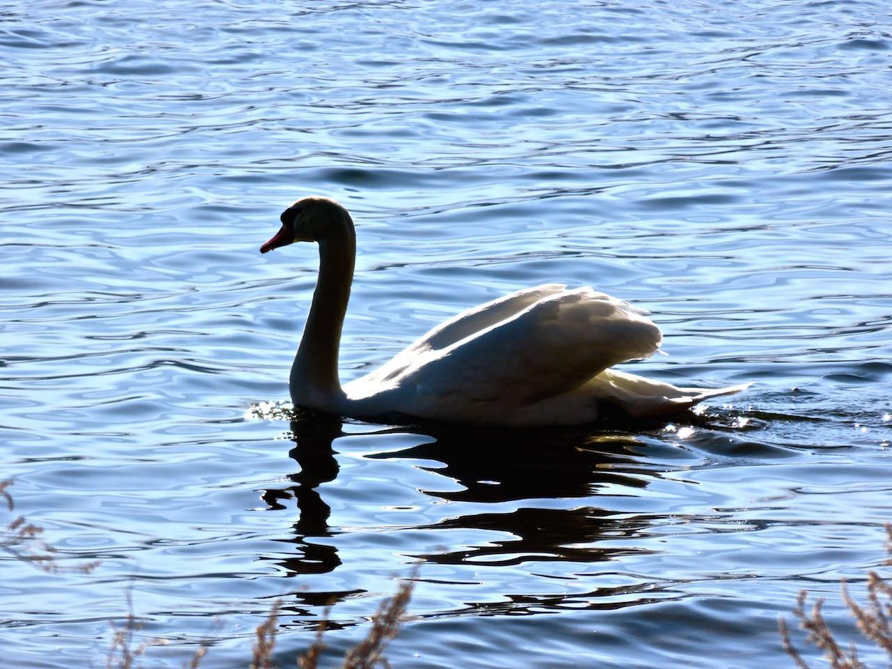 山中湖の白鳥 by住職