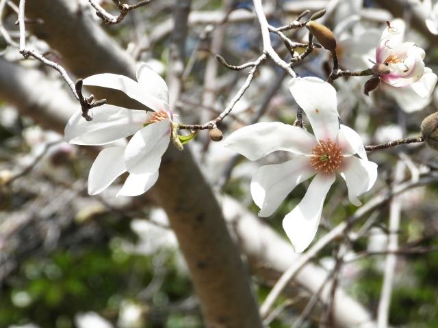 コブシの花(左の花の下に1枚葉が出ているのがわかります)