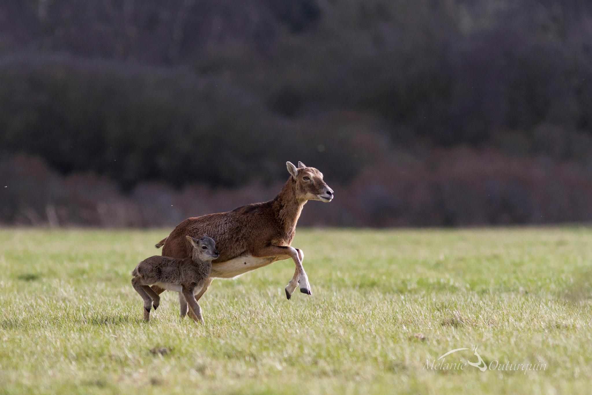 Mouflon au Domaine du Marquenterre ©Mélanie Outurquin
