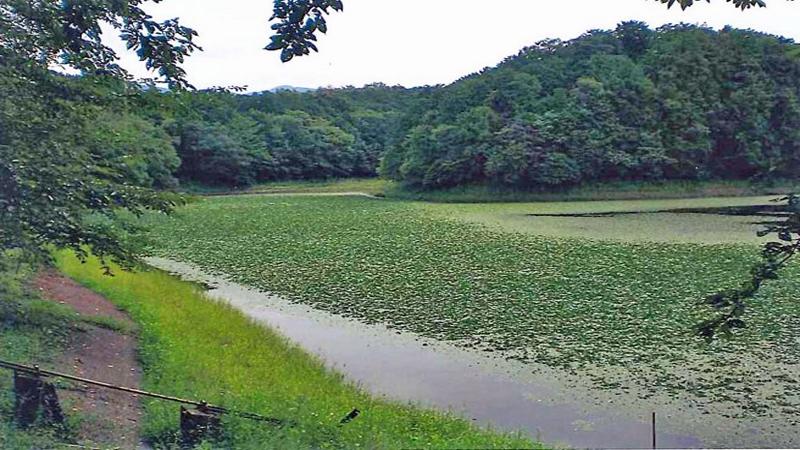 滋賀県調整池 水草ヒシ繁茂