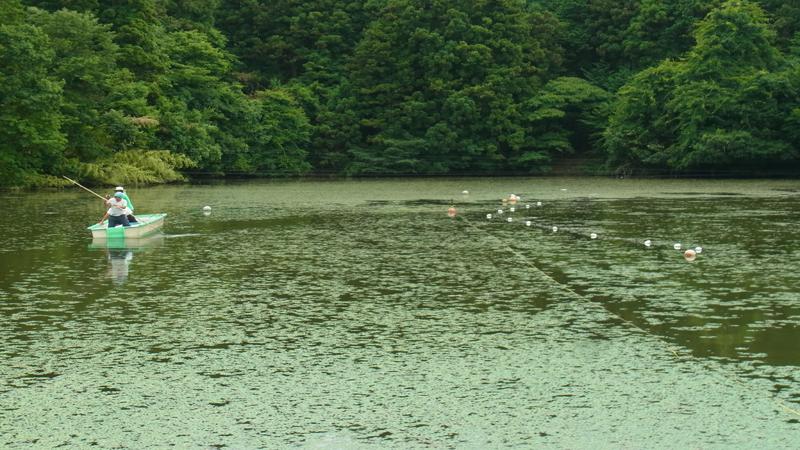 滋賀県養殖池 水草ヒシ繁茂