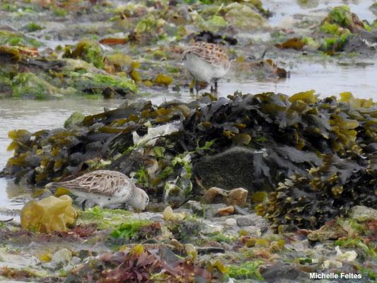 Bécasseaux sanderling (sillon de Talbert)