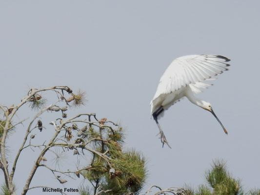 Spatule blanche (Marquenterre)