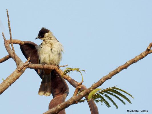 Bulbul goiavier Pycnonotus goiavier (Cambodge)