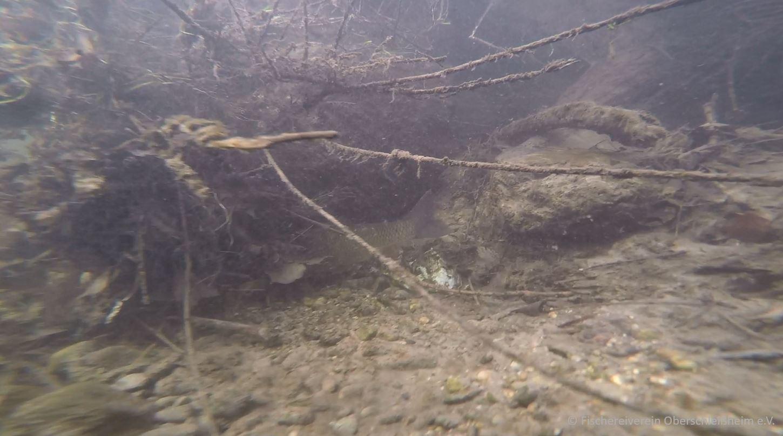 Döbel / Aitel (Squalius cephalus, Syn.: Leuciscus cephalus)