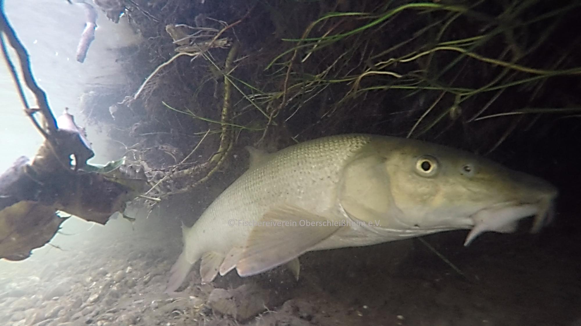 Flussbarbe (Barbus barbus)