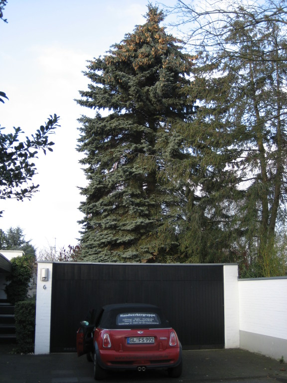 Nadelbaum, ca. 16 m bis zur Spitze.