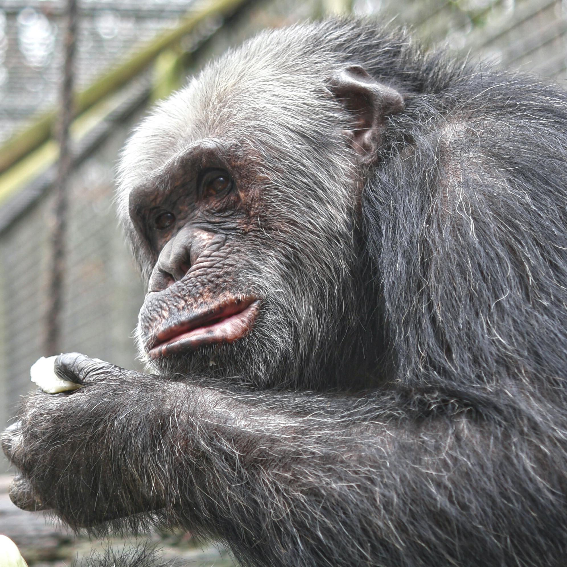 Fred, geboren 1988 im Leintalzoo, wuchs zunächst bei Familie Geßmann auf und wurde später perfekt in die Schimpansengruppe integriert.