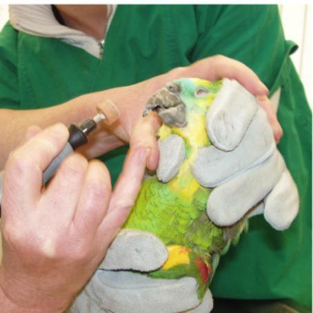 Schnabelpfelge beim Papagei