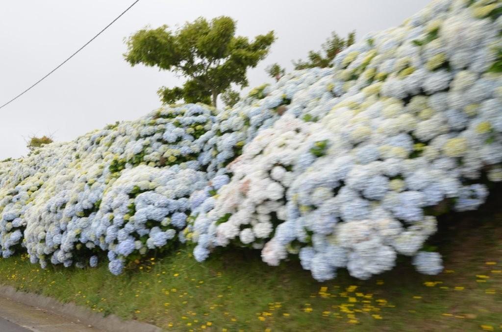 Hortensienpracht auf Sao Miguel