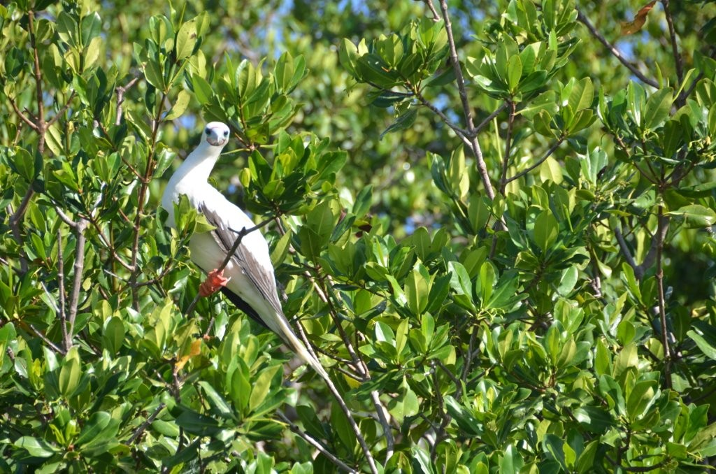 Boobies auf Aves de Barlovento, Isla sur