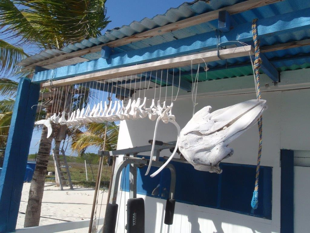 Delfinskelett