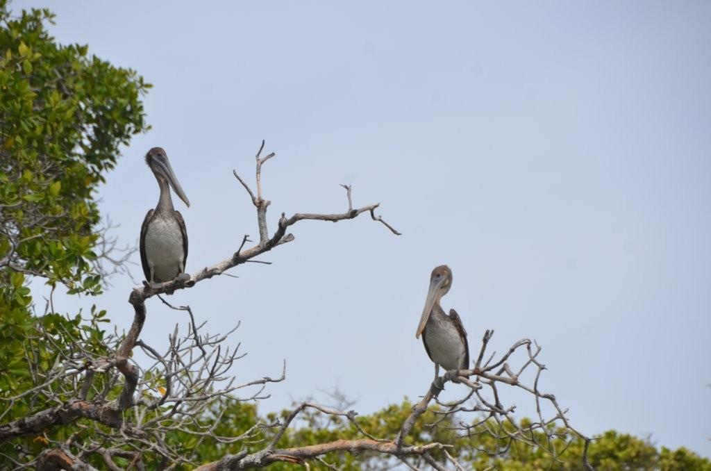 Pelikane in der Lagune