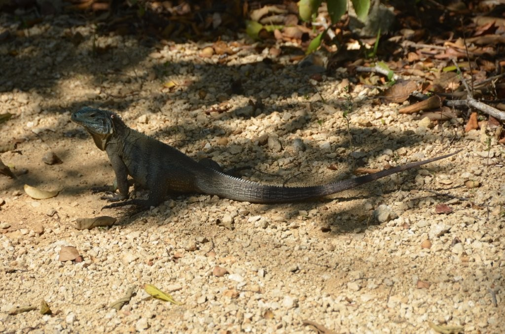 Blue Iguana, diese Spezies ist nur auf den Cayman Islands zu finden