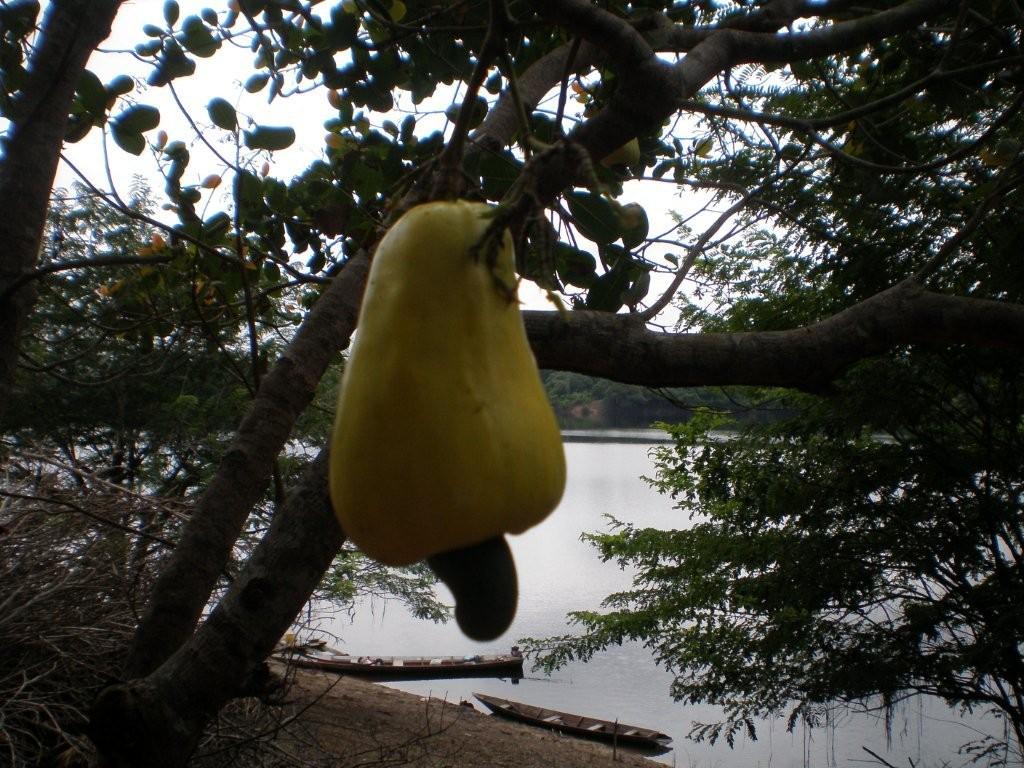 Kaju-Frucht