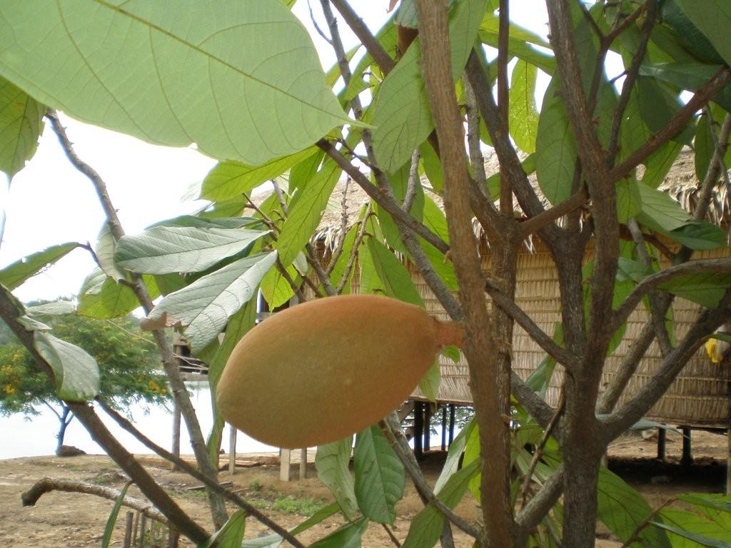 Cupuacu-Frucht