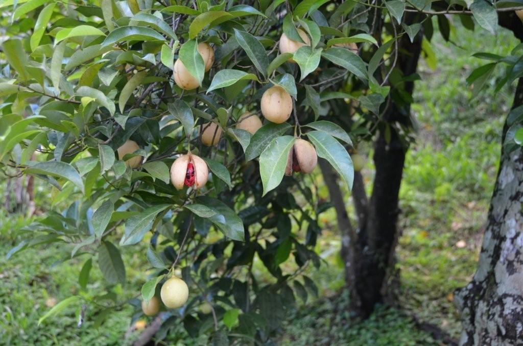 reife Muskatnuss am Baum