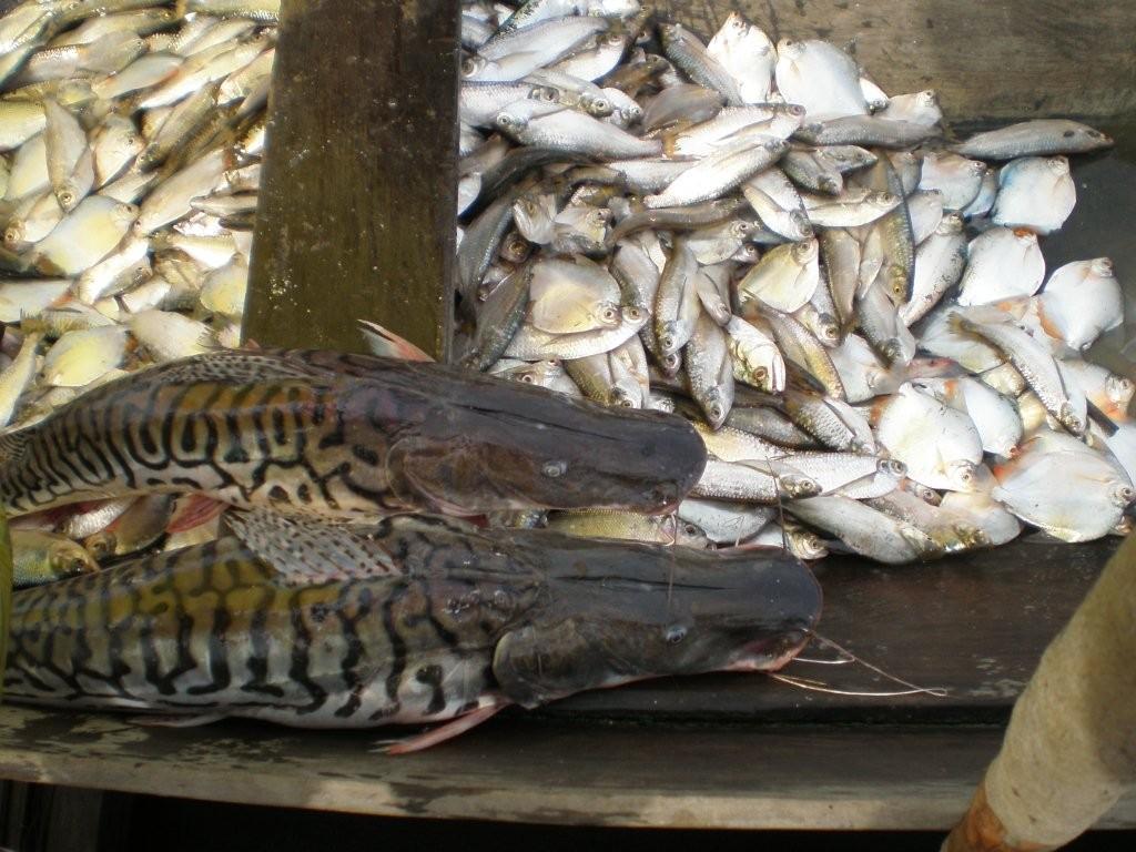 Fisch im Amazonas