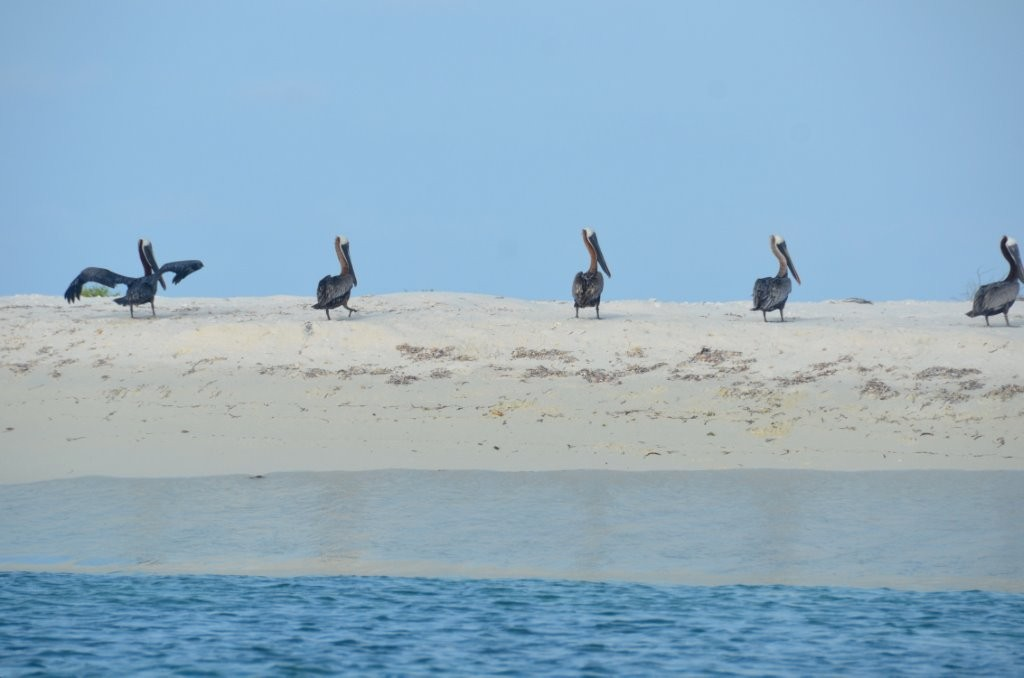 Pelikane auf Curricai