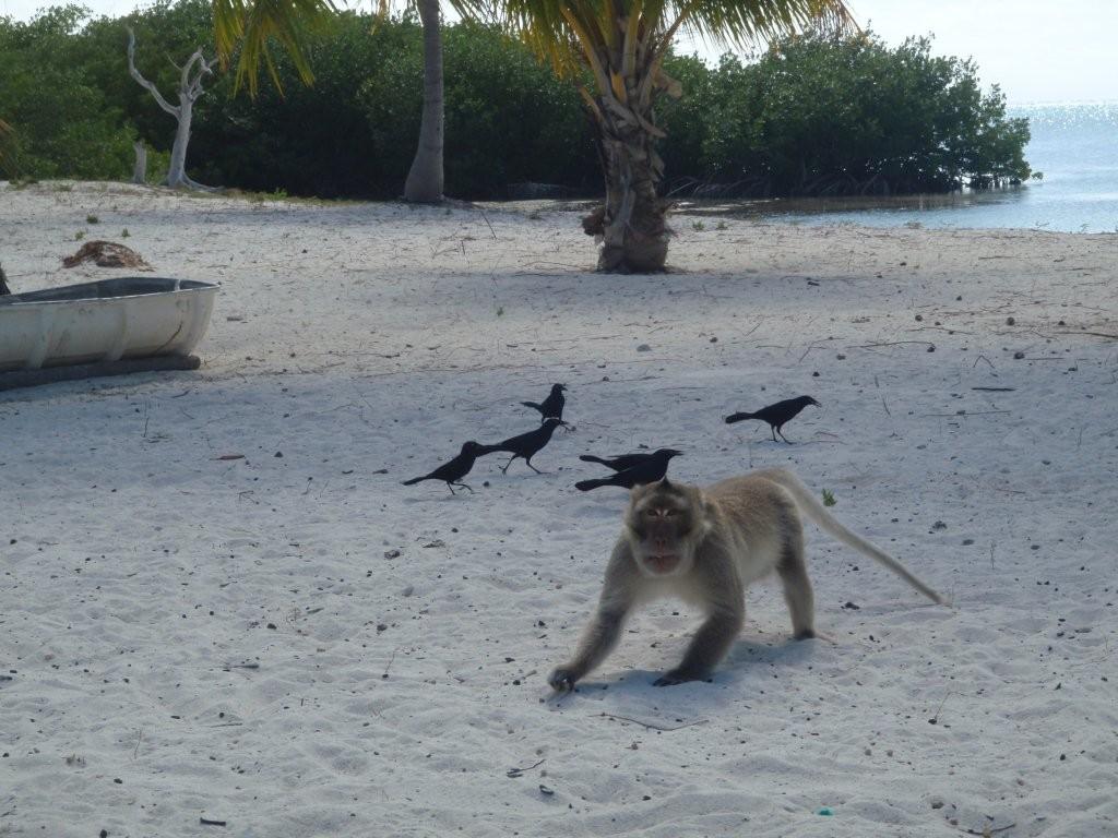 Affen auf Cayo Campos