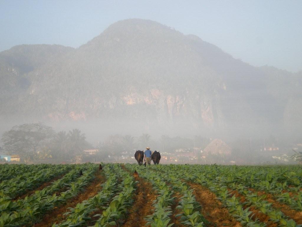 Tabakfeld im Morgennebel, Vinales / NP Pinar del Rio