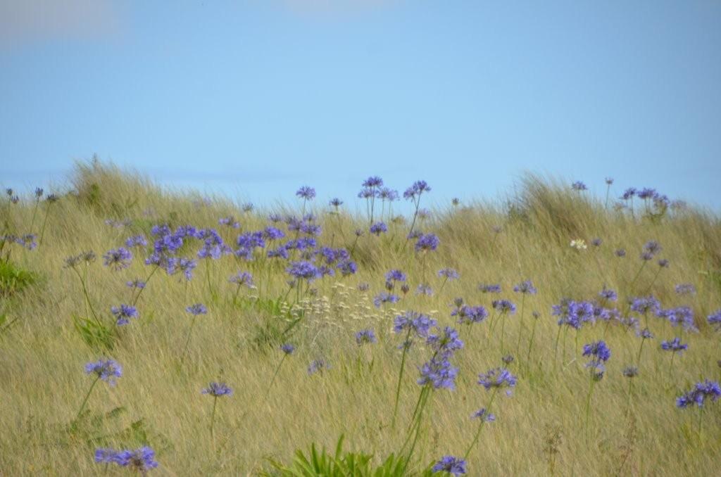 Blumenfelder auf Tresco