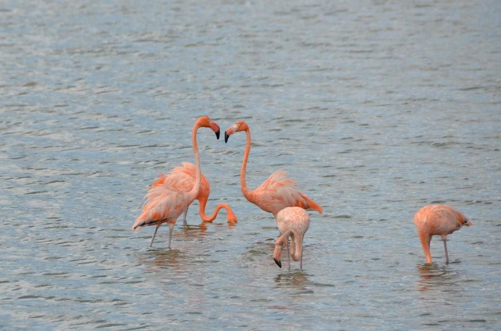 Flamingos auf Curacao